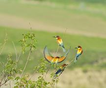 european bee-eaters - stock photo