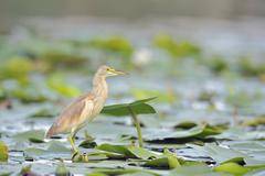 Squacco Heron (Ardeola ralloides) - stock photo