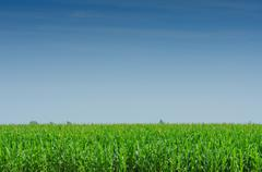 Corn field on bright summe day - stock photo