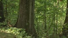 Large hickory tree in the woods Stock Footage