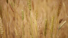 HD: Close up of wheat in an agricultural farm. Stock Footage
