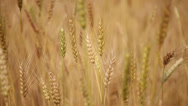 Stock Video Footage of HD: Close up of wheat in an agricultural farm.