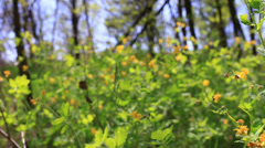 Charm of the spring wood. Yellow flowers. Slow motion - stock footage