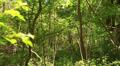 Slow walking  in dense  wood. Steadicam shot Footage