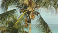 Stock Video Footage of coconuts ripening on coconut tree