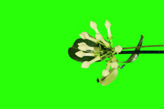 4K. Time-lapse opening white stephanotis flower buds green screen Stock Footage