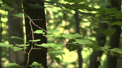 Rack focus from large hickory leaves to saplings Stock Footage