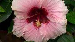 Big pink flower of Hibiscus (Rose of Sharon). Stock Footage