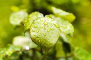 Green leaves after rain Stock Photos