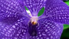 Vanda coerulea orchid ( Blue Vanda). Stock Footage