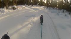 Snow Dog Pulls Skier Fall Stock Footage