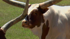 Longhorn Bonks Another One On Nose As they Eat Stock Footage