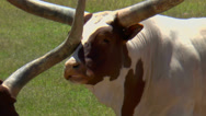 Stock Video Footage of Longhorn Bonks Another One On Nose As they Eat