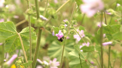 Bee on Flower Stock Footage