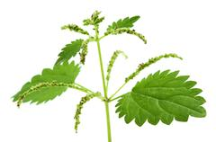 Stinging nettle Stock Photos