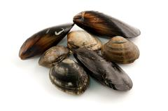 Stock Photo of edibile molluscs