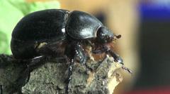 Black beetle bug insect macro Stock Footage