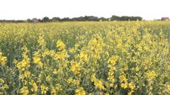 rapeseed, oilseed rape, oats field - stock footage
