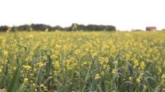 Rapeseed, oilseed rape, oats field Stock Footage