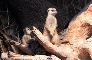 Stock Photo of suricate family