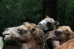Bactrian camels - stock photo