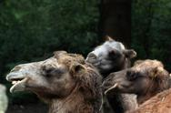 Stock Photo of Bactrian camels