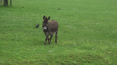 Two Donkeys in the polder in Holland Stock Footage