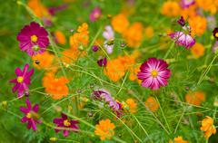 A field of cosmos flowers Stock Photos