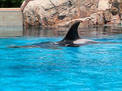 Killer whale (Orcinus orca) in an aquarium Stock Photos