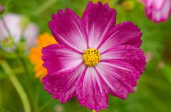 Single purple cosmos flower Stock Photos