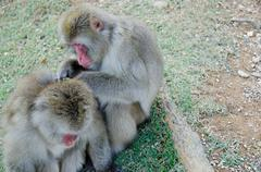 Two japanese macaques grooming Stock Photos