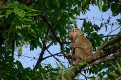 Japanese macaque sitting on a tree - stock photo