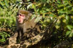 Japanese macaque sitting on the ground - stock photo