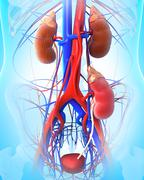 Anatomy of Kidney transplantation Stock Illustration