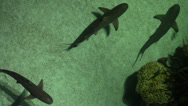 Stock Video Footage of Sharks Swim in Shallow Water