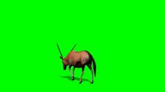 Gemsbok Antelopes graze - green screen Stock Footage