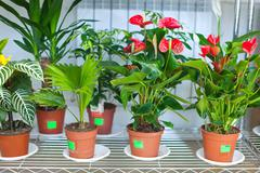Shelves with anthurium in flower shop - stock photo