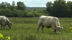 Cows walking and grazing in beautiful green pasture in the evening Stock Footage