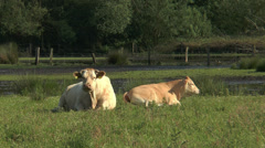 cow lying in marshland and chewing - stock footage
