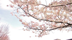 Cherry Blossoms in the Sky Stock Footage
