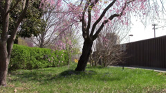 Cherry Blossoms Wave in the Breeze in Arlington, VA Stock Footage