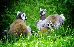 Lemur cata - stock photo