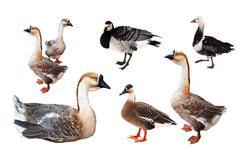 Set of few geese  over white Stock Photos