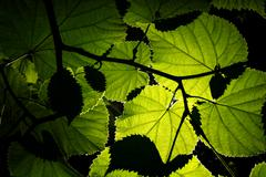 Backlit leaves Stock Photos