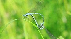 Azure Damselfly at mating Stock Footage