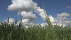 Wheat Harvest in Field in Breeze, Crop of Cereals, Agriculture Land, Farming Stock Footage