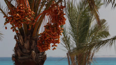Date palms in Marsa Matruh, Egypt Stock Footage