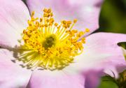 Stock Photo of pink eglantine