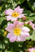 Pink eglantines Stock Photos