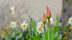Daffodil macro close-up Stock Footage